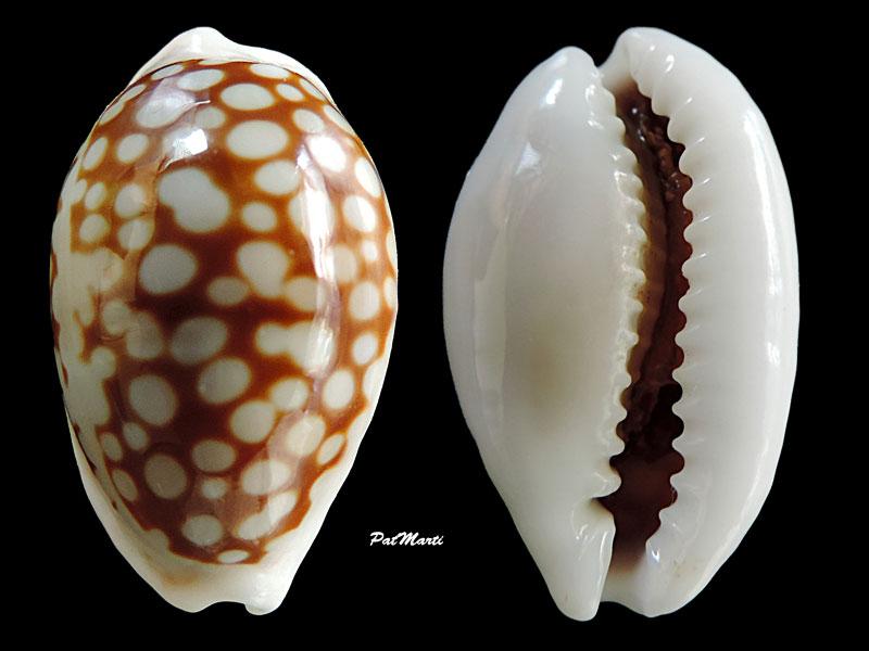 Cribrarula cribraria comma - (Perry, 1811) Cribra11
