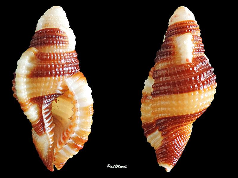 Septa flaveola - (Röding, 1798)  Cymati10