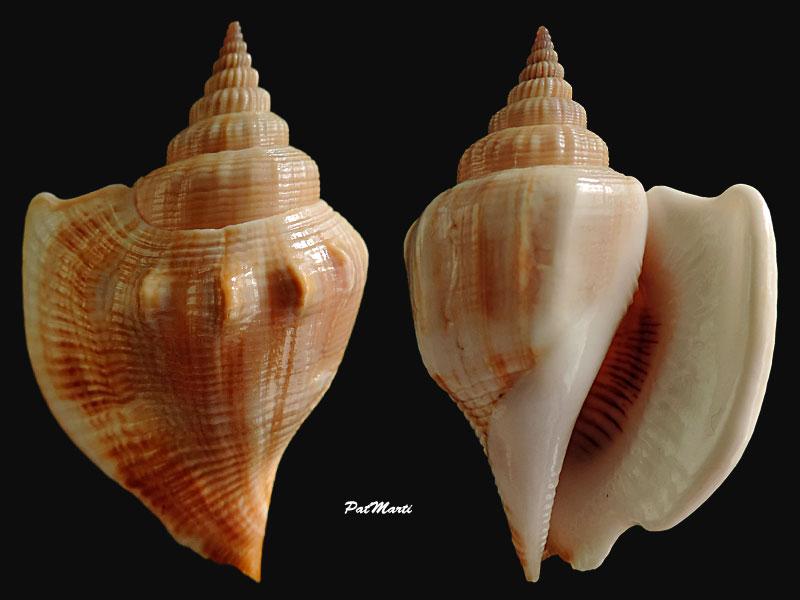 Dolomena labiosa - (Wood, 1828) Dolome10