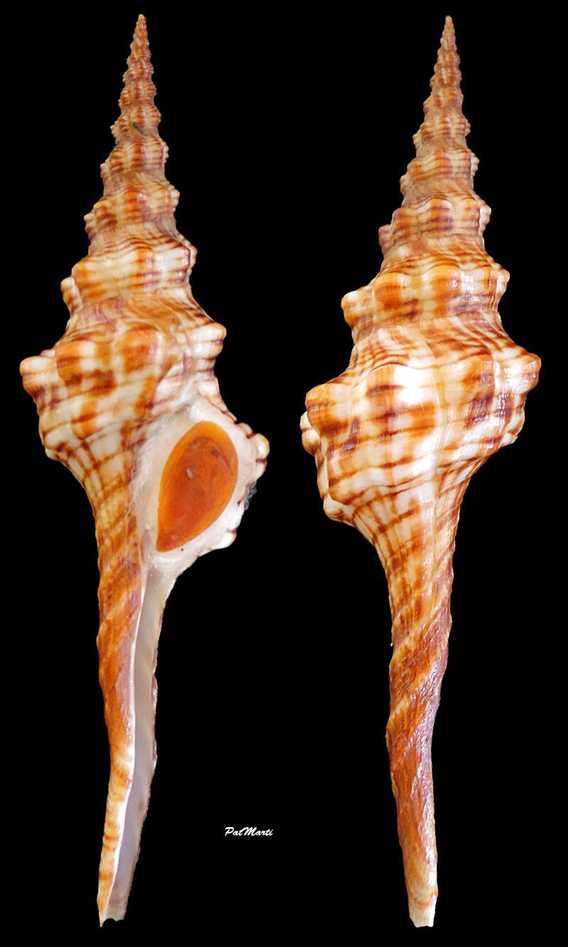 Fusinus oblitus - (Reeve, 1847)  Fusinu11