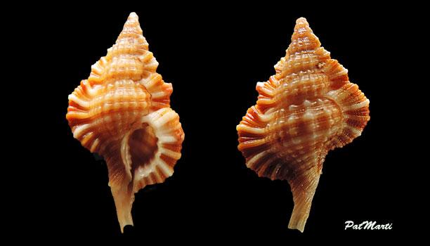 Cymatiidae Gyrineum longicaudatum - Beu,1998  Gyrene10