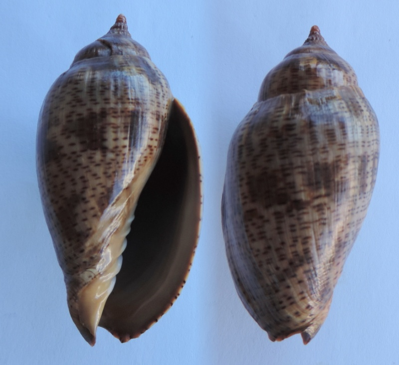 Harpulina lapponica - (Linnaeus, 1767) Harpul10