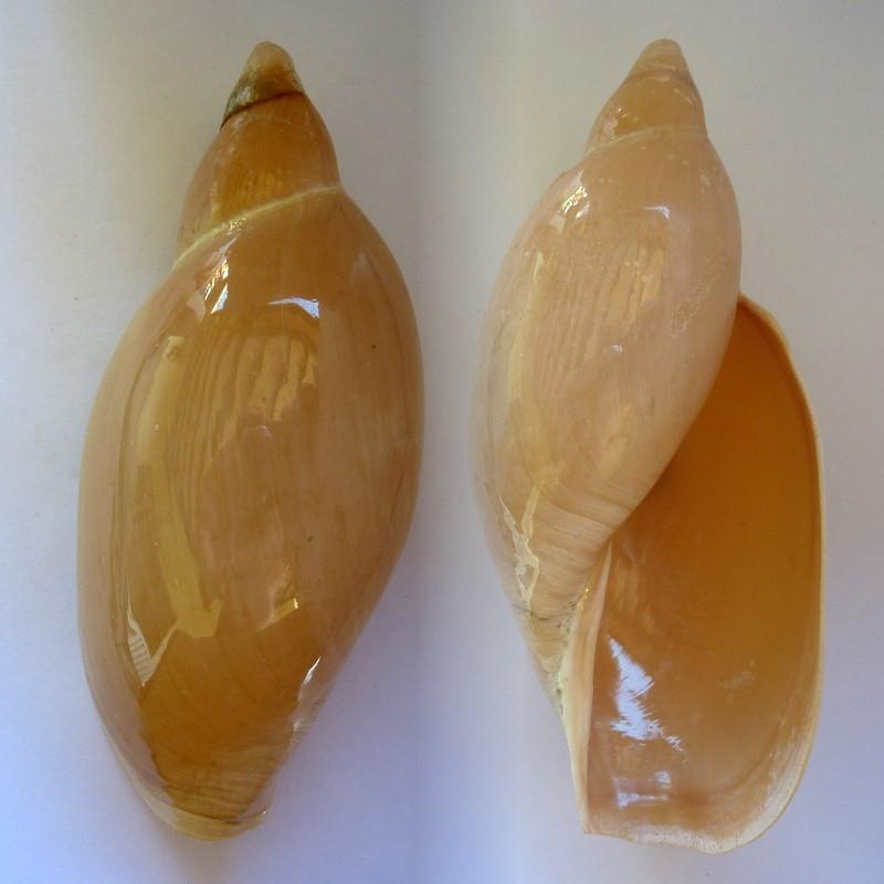 Marginellona gigas - (Martens, 1904) Margin10