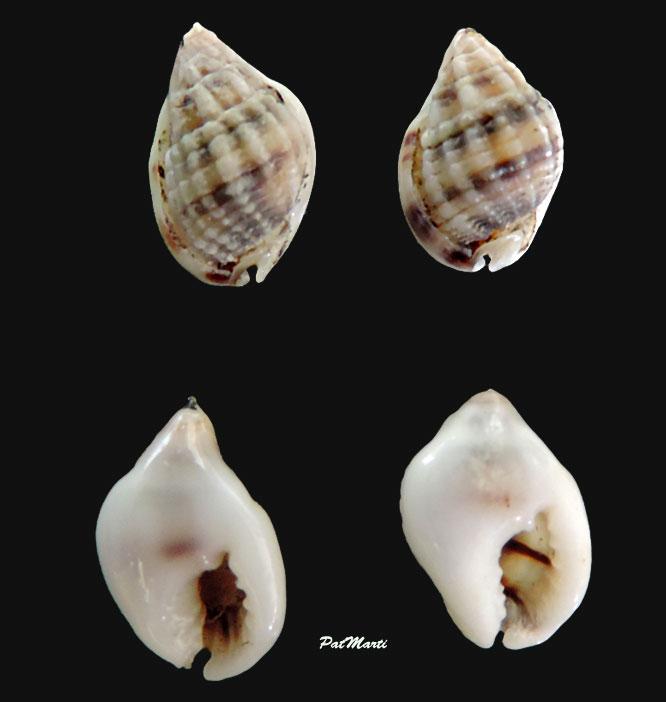 Nassarius callospira - (A. Adams, 1852)  Nassar15