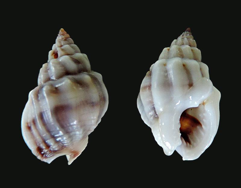 Nassarius coronulus - (A. Adams, 1852) Nassar17
