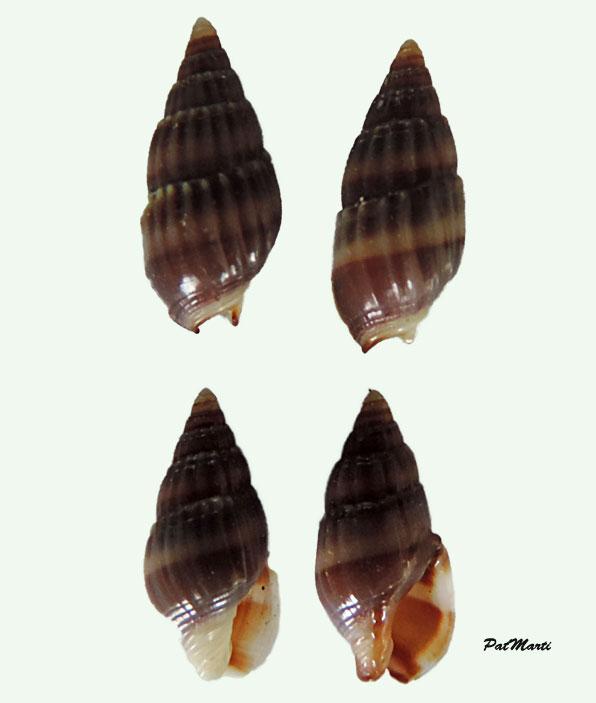 Nassarius vittatus - (A. Adams, 1853) Nassar19