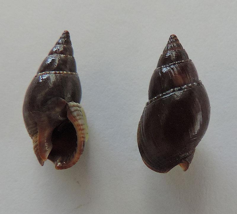 Nassarius reeveanus - (Dunker, 1847) Nassar20