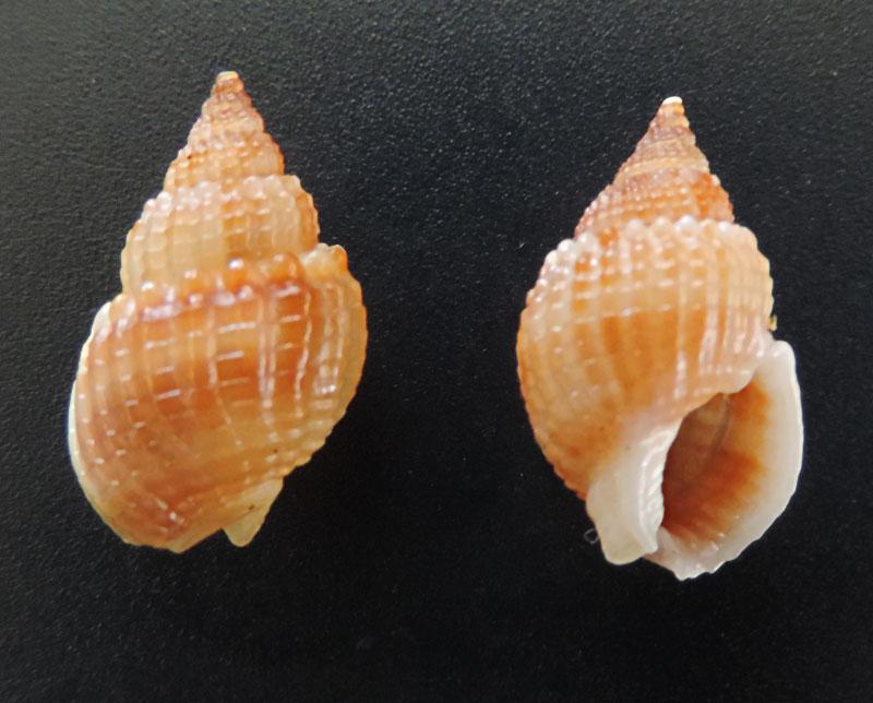 Nassarius livescens - (Philippi, 1849)  Nassar22
