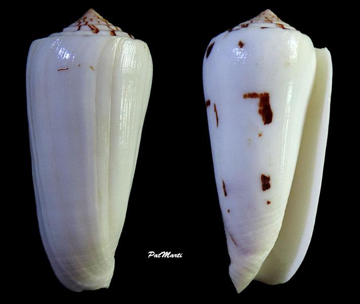 Conus (Pionoconus) gubernator terminus  Lamarck, 1810 Pionoc10