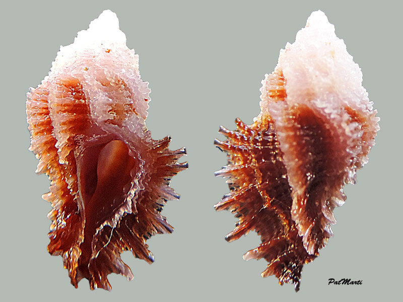 Pterynotus barclayanus - (H. Adams, 1873) Pterym10
