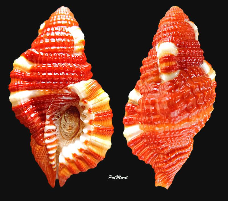Septa rubecula - (Linnaeus, 1758) Septa-10