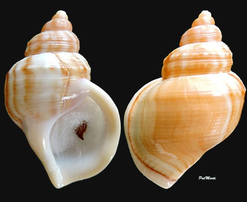 Struthiolariidae - Pelicaria vermis - (Martyn, 1784) Struth10