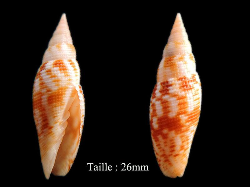 Imbricaria zetema - (Dekkers, Herrmann, Poppe & Tagaro, 2014) Subcan10