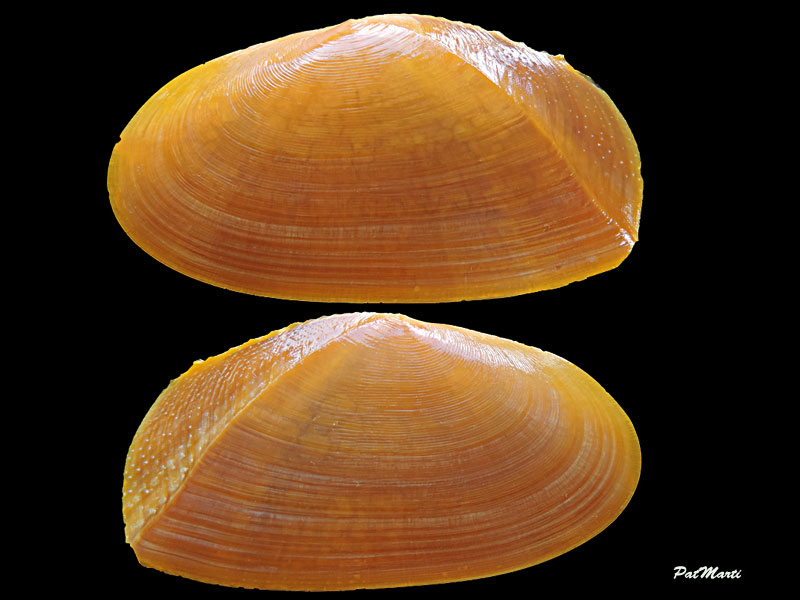 Phylloda foliacea - (Linnaeus, 1758) Tellin11