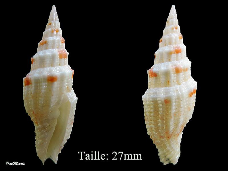 Vexillum mirabile angulosa (var.) - (Reeve, 1845) Vexill10