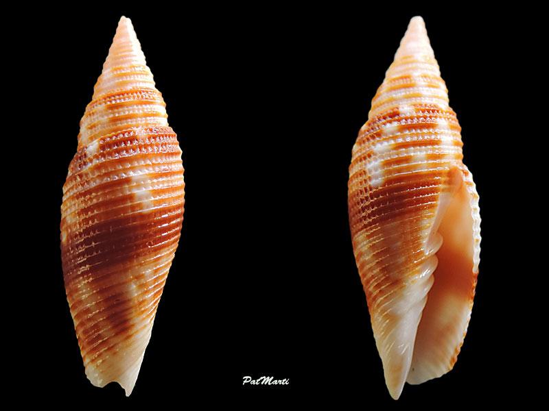 Domiporta_rufilirata_(Adams_&_Reeve, 1850) Vexill11