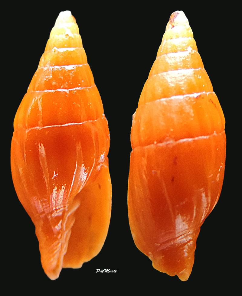 Protoelongata xerampelina - (Melvill, 1895)  Vexill12