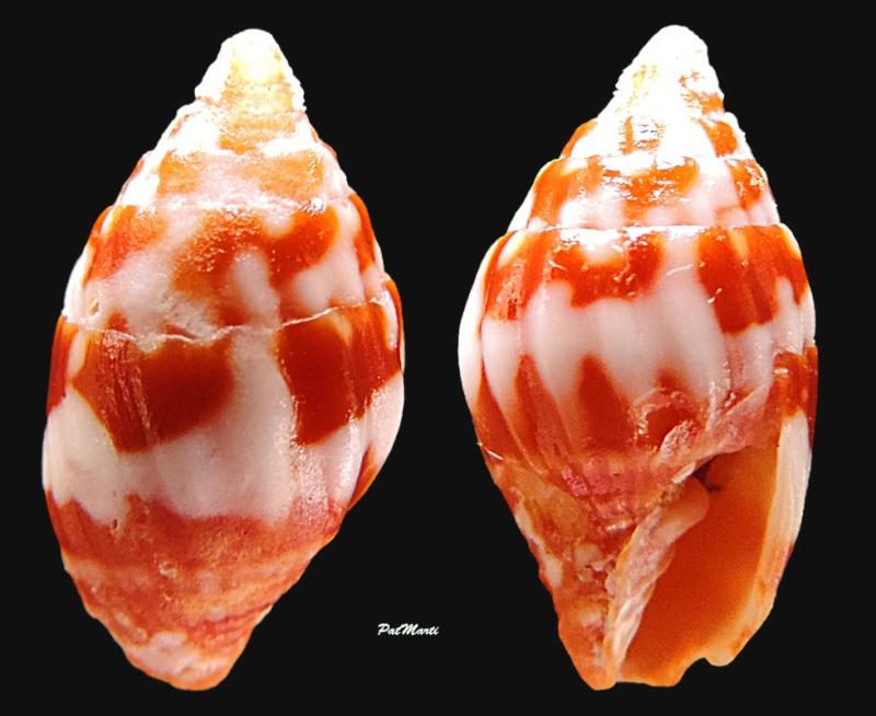 Vexillum consanguineum - (Reeve, 1845) Vexill13