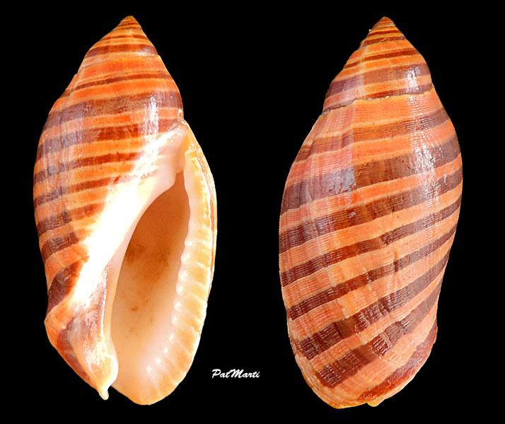 Vexilla vexillum - (Gmelin, 1791) Vexill20