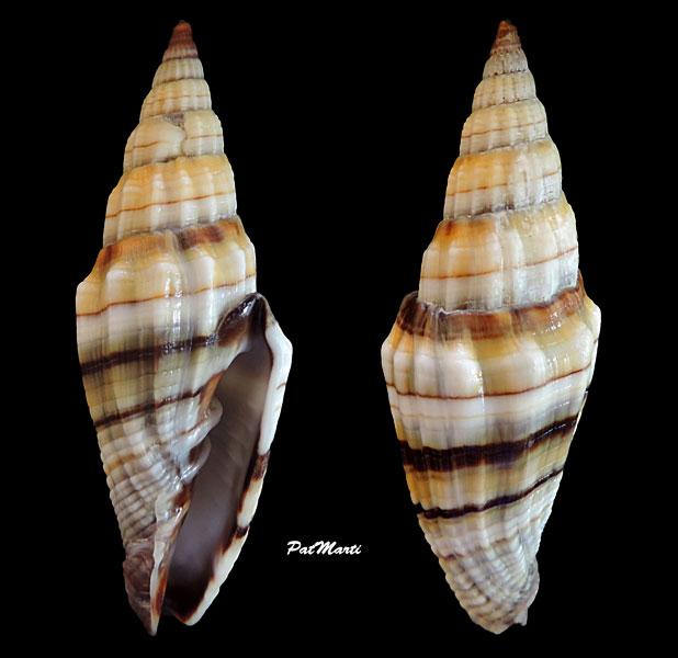 Vexillum rugosum - (Gmelin, 1791) Vexill22