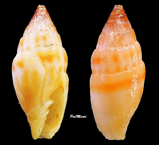 Vexillum semicostatum - (Anton, 1838)  Vexill28