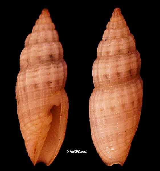 Vexillum humile - (Hervier, 1897) Vexill29