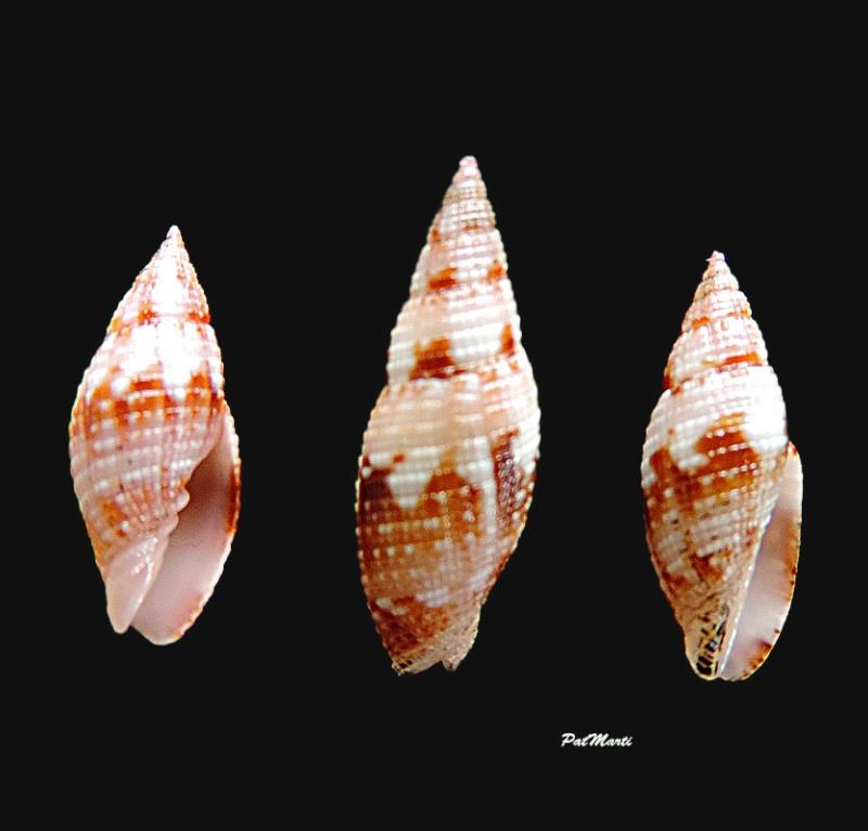 Neocancilla maculosa - (Gmelin, 1791) Ziba-p10