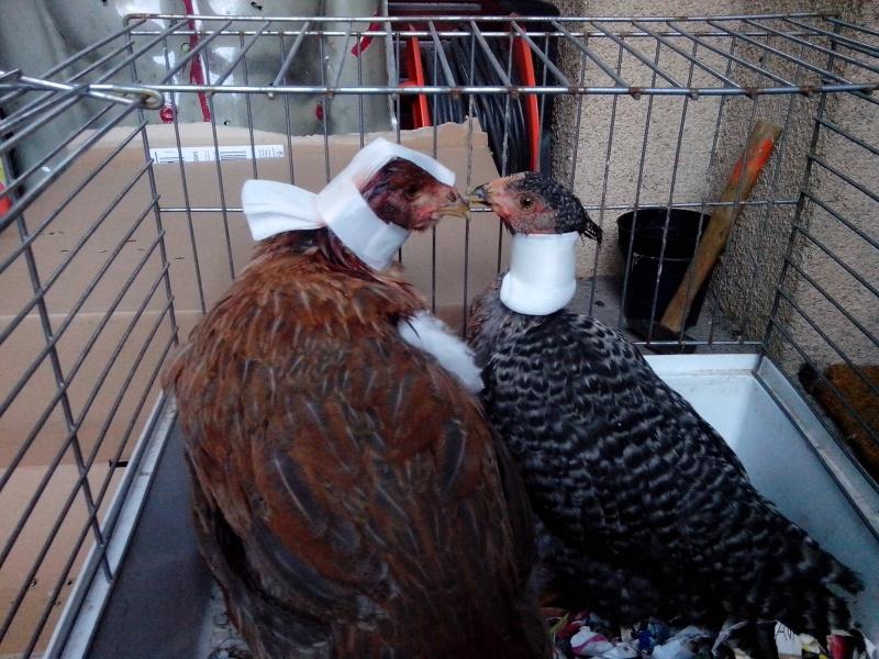 Les poules de VitamineSeb Img_2014