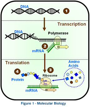 OGM : L'ADN des cultures génétiquement modifiées est transféré aux humains qui les mangent. Ogm10