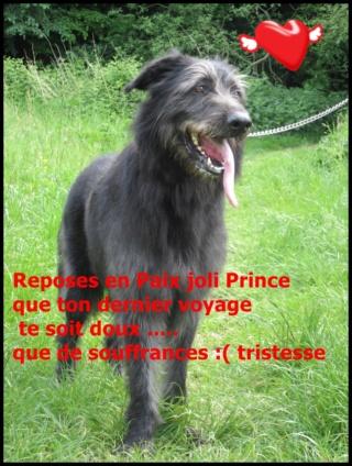 Prince x Irish wolfhound (lévrier irlandais)  male 6 ans de Béthune -  SPAE à Evreux (27) 68392912