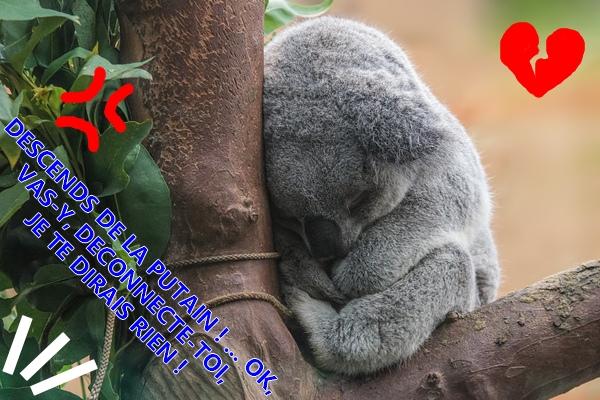 Absences - Page 9 Koala_11