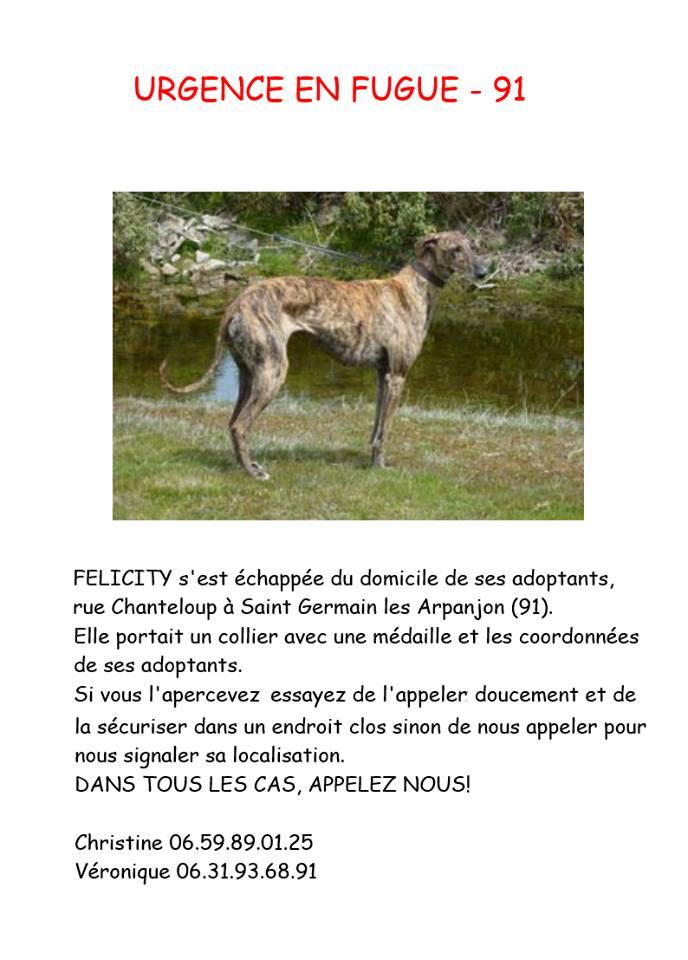 FELICITY GALGAS FEMELLE S'EST ECHAPPEE SUR LE 91 HELP !!! Felici10