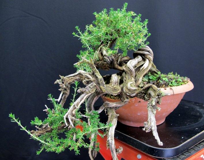 TIMO ... futuro bonsai ... - Pagina 2 Web_du10
