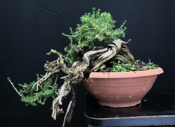TIMO ... futuro bonsai ... - Pagina 2 Web_un10