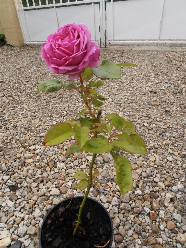 Petite présentation de mes boutures de rosier 2014 Roses_11