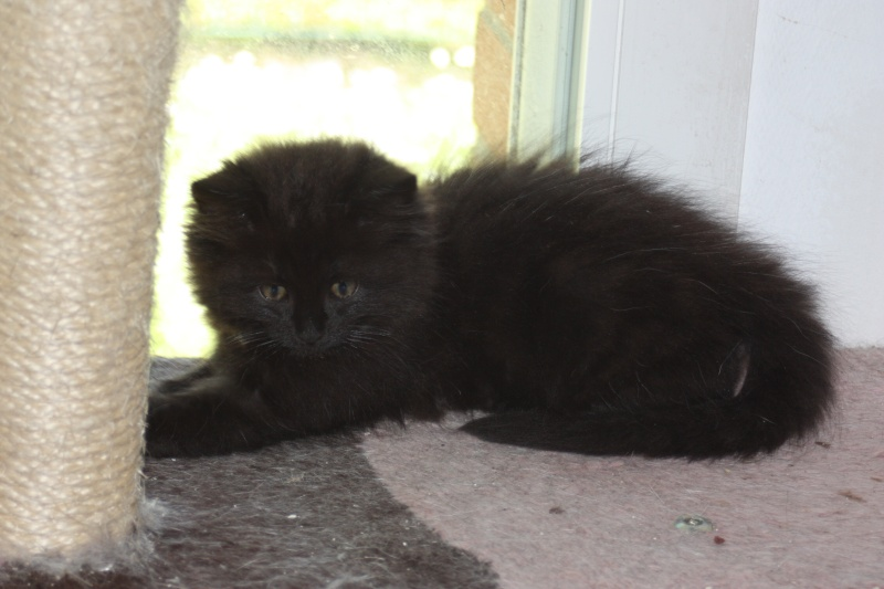 Jingle,chaton angora mâle né le 20 mars  Img_0710