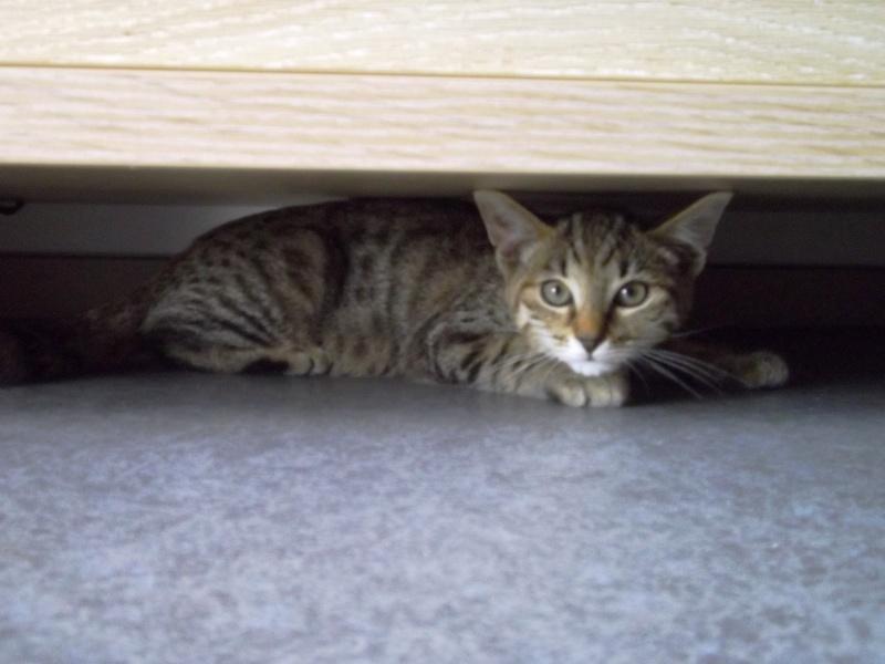 jagna, jolie tigrée née le 10 avril 2014 Imgp5917