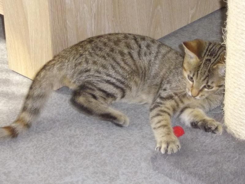 jagna, jolie tigrée née le 10 avril 2014 Imgp5918