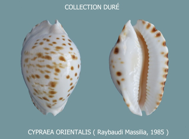 Zoila orientalis orientalis - L. Raybaudi, 1985 Panora15