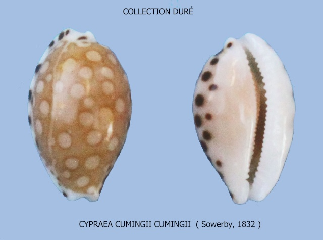 Cribrarula cumingii - (Gray, 1832)  - Page 2 Panora16