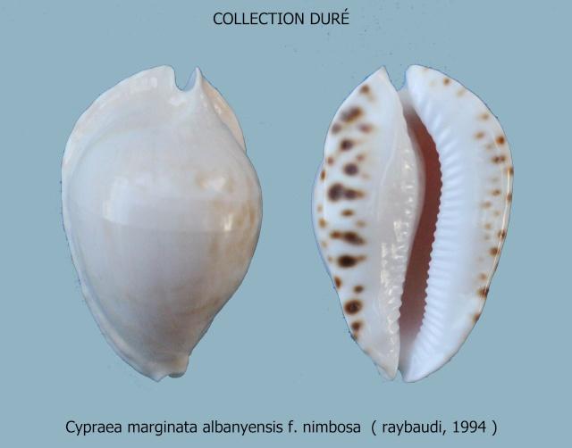 Zoila marginata albanyensis nimbosa - (Raybaudi Massilia, L., 1994) Panora17