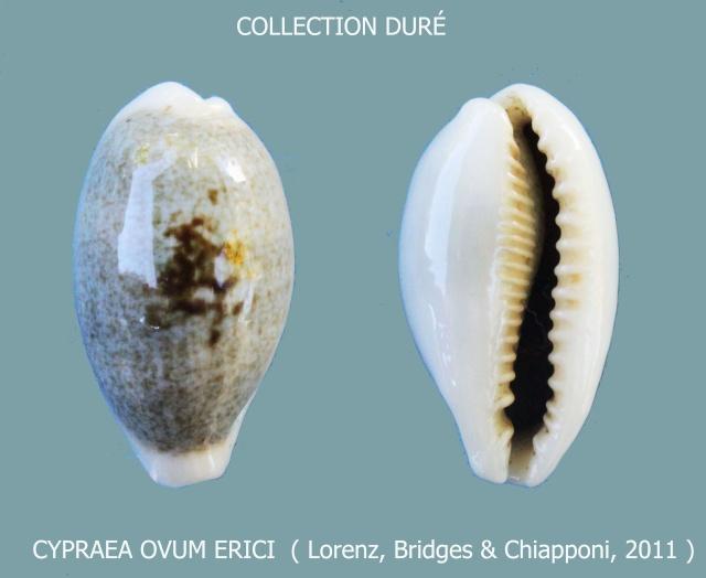 Erronea ovum erici - Lorenz, Bridges & Chiapponi, 2011  Panora25