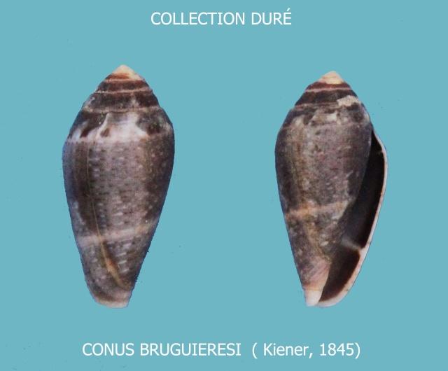 Conus (Lautoconus) bruguieresi    Kiener, 1846 - Page 2 Panora37