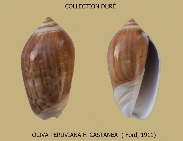 Americoliva peruviana f. castanea (Johnson, 1911) accepted as Americoliva peruviana (Lamarck, 1811)  Panora42