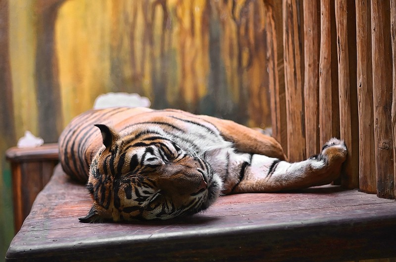 La sieste des tigres Dsc_5310