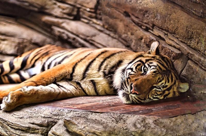 La sieste des tigres Dsc_5311