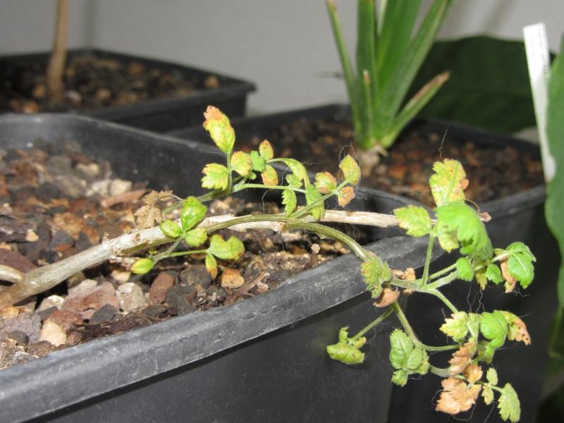 Boswellia sacra Img_4010