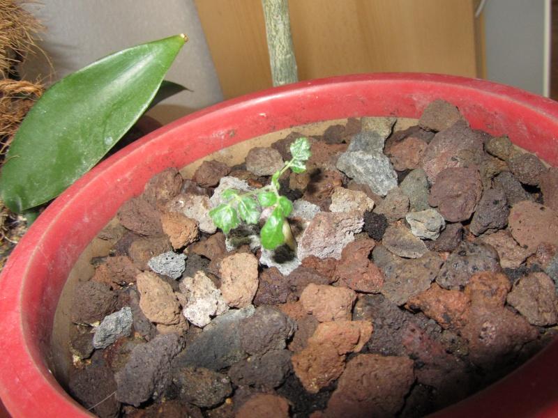 Boswellia sacra Img_4012
