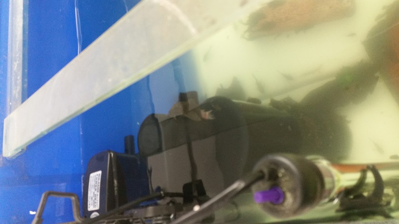 Need assistance with wound on bristlenose female. 20140915
