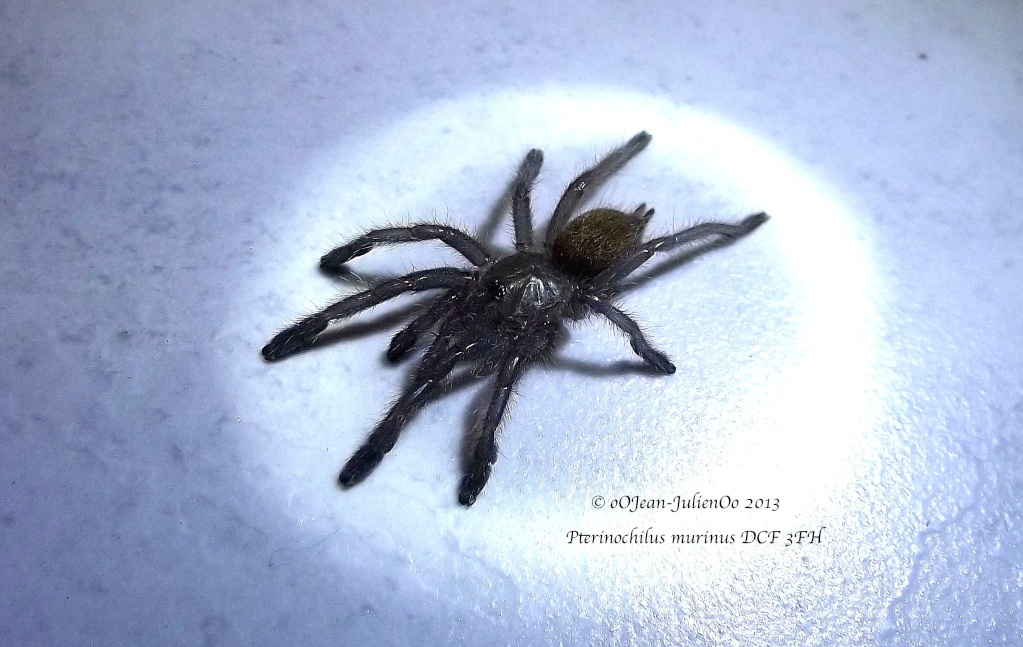 Pterinochylus murinus DCF Dscf0918